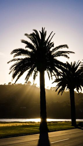 Palmtree in the morningsun
