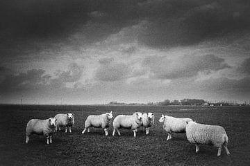 Schafe von Mark Baltus