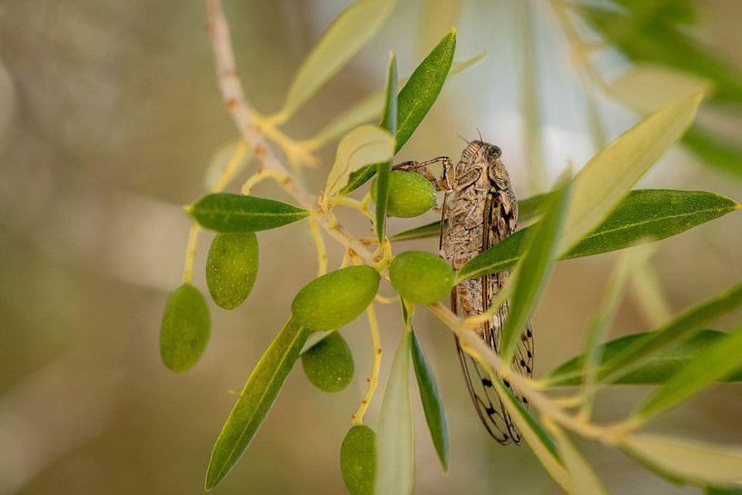 Cicade in een olijfboom van Visueelconcept
