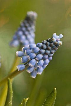 Muscari, blaue Traube mit Bokeh von Lindy Schenk-Smit