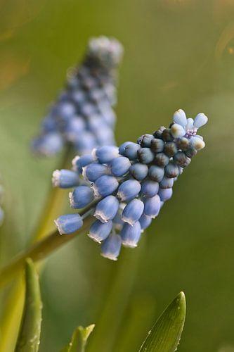 Muscari, blauwe druif met bokeh
