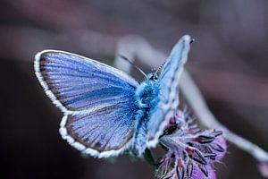 Ein Heidekrautblau (Schmetterling) von Jouke Wijnstra Fotografie