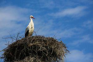 Ooievaar wacht op het nest