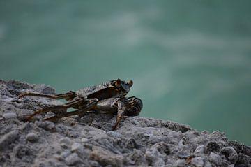 Coole Krabbe von Patrick Aniszewski