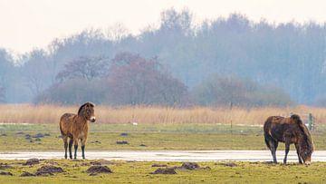 Exmoor-Ponys auf der Wiese 10. von Marcel Kieffer
