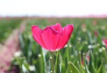 Tulpe im grünen Feld von Nathalie Villier