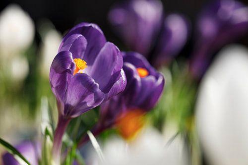 Paarse Krokus in bloemenveld II