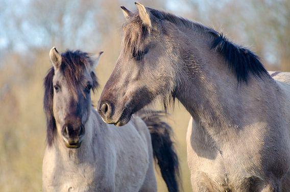 Twee paarden in de Palmerswaard