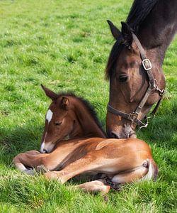 Paarden Liefde.