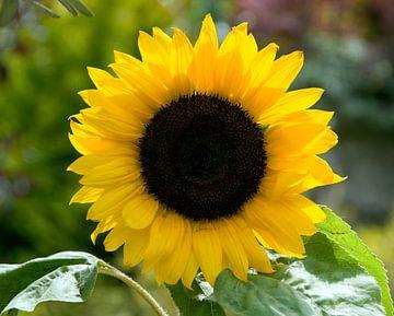 een gele zonnebloem sur Compuinfoto .