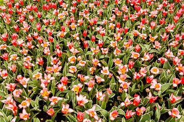 Tulpen van Ben van Boom