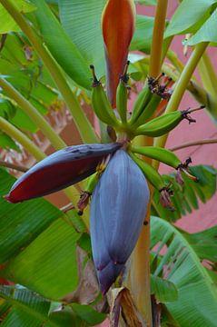 Bananenblüte von Iris Heuer