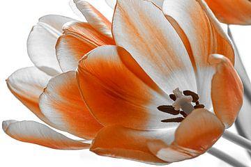 Tulp tegen witte achtergrond van Ad Jekel