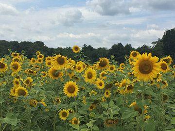 Sonnenblumen von Christine Volpert