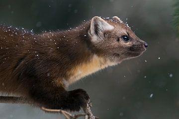 Baummarder / Fichtenmarder ( Martes americana ) bei leichtem Schneefall von wunderbare Erde