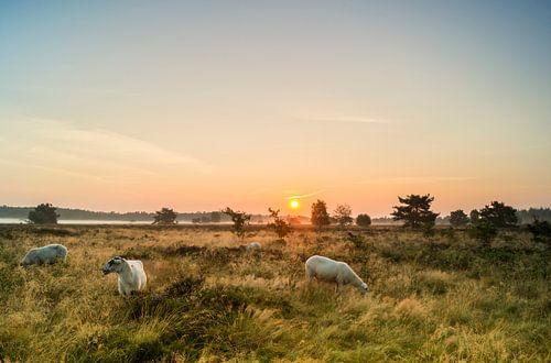 Gortelse schapen van Jan Koppelaar