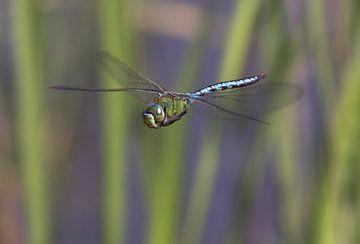 Keizerlibel (Anax imperator) - Blue Emperor Dragonfly