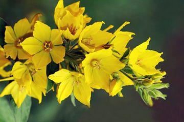 Grote Wederik - Lysimachia vulgaris