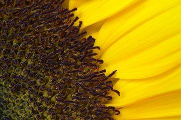 Sonnenblumenahaufnahme von Margot van den Berg