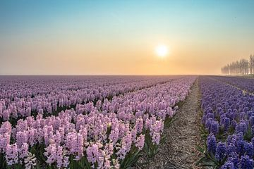 het Hyacinthen veld van Frans Bruijn