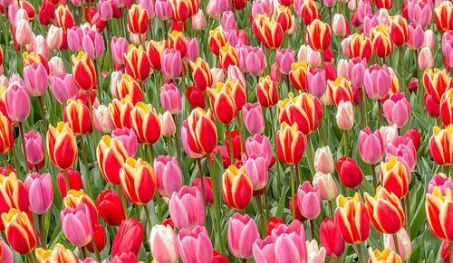tulp rood roze van
