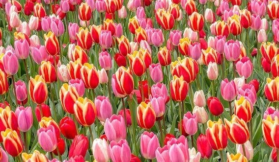 tulp rood roze