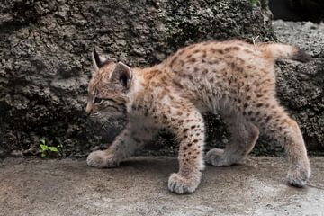 heel klein lynx poesje komt. om de avonturen van een dappere kleine baby te ontmoeten. van Michael Semenov
