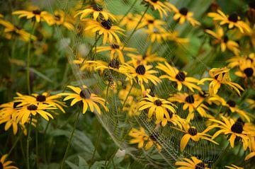 Rudbeckia met spin in web. van Inge van Dam