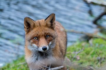 Fox sur Adriaan Westra
