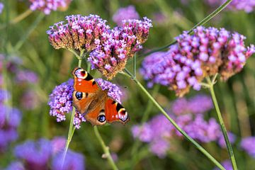 Leuchtend farbiger Schmetterling (Tagpfauenauge) auf Blüte (Verbena bonariensis) von Lieven Tomme