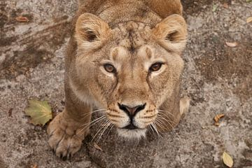 De dorstige blik van een grote roofkat van een vrouwtjesleeuwin van onderen, de ogen lome bruin-ebbe van Michael Semenov