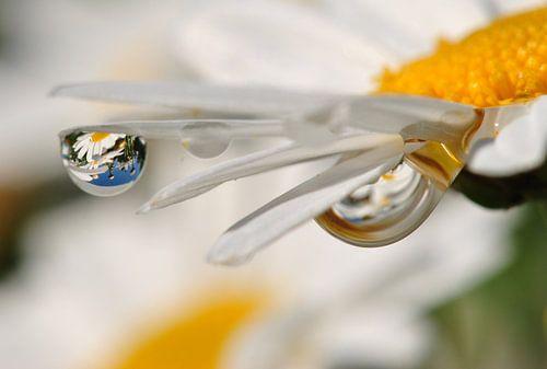 Margeritenblüte mit Spiegelung im Tropfen