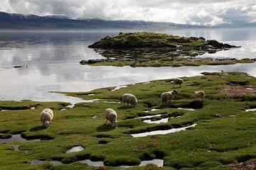 Friedlich grasende Schafe in Scallastle Bay, Mull, Schottland von Rob van Hilten