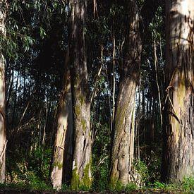 Eucalyptus sur Wendy Bos