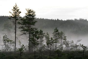 Mist in het dennenbos van @ GeoZoomer