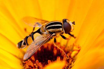 Zweefvlieg op een gele bloem von Evelyne Renske