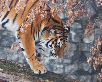 Un tigre sur un arbre tombé, sur fond de plantes et de rochers flétris par l'automne, un tigre s'app sur Michael Semenov