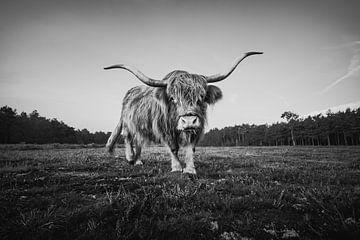 Schottische Highlander in schwarz-weiß | Naturfotografie und Tierwelt von Marijn Alons