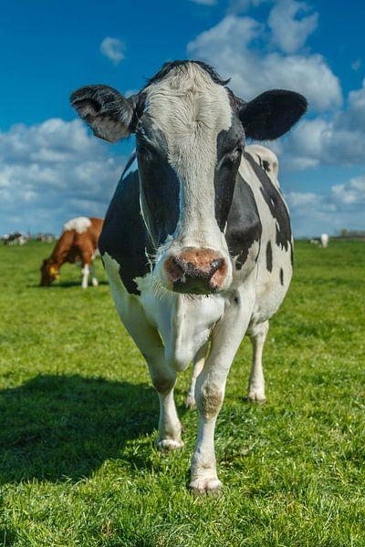 Dutch cow sur Menno Schaefer
