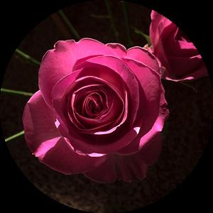 Roos in het donker van Elisabeth De Potter