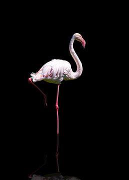 Einzelner Flamingo in Reflexion von Karin aan de muur