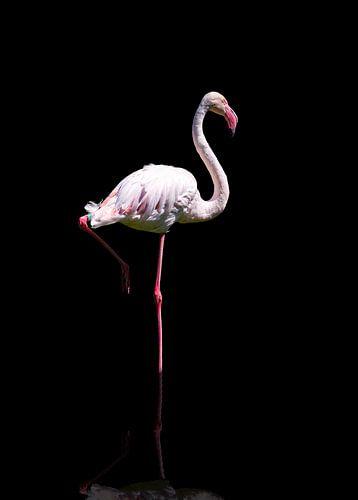 Enkele flamingo in reflectie