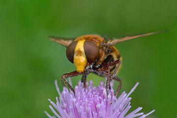Hörende Schwebfliege auf Blume von Petra Vastenburg