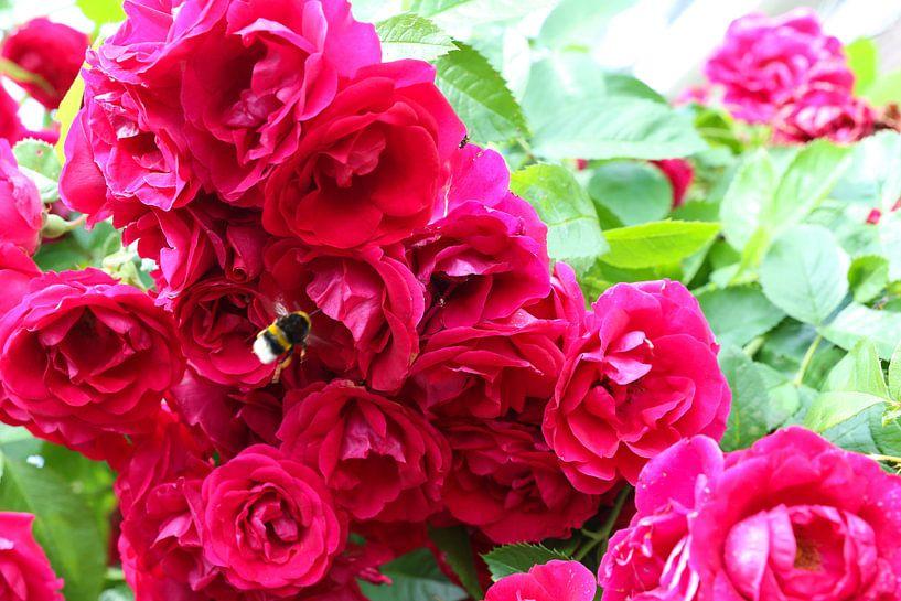 rozen met hommel van Frans Versteden