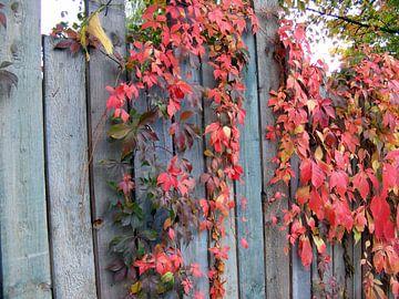 Klimop aan schutting.  Colord ivy on fence. van Joke Schippers