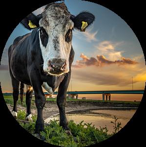 Portret van een koe met zonsondergang van Jan Hermsen