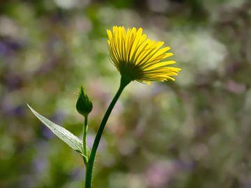 Frühlingssonnenblume von Ronald Mallant