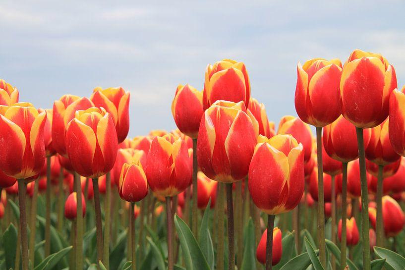 Tulpen van Marcel van Rijn
