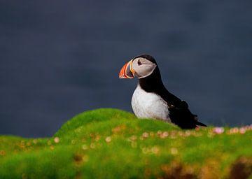 Papegaaiduiker op Fair Isle van Merijn Loch