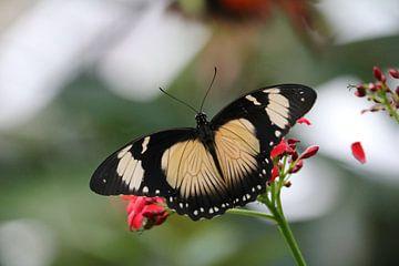 vlinder van Rianne de Heij